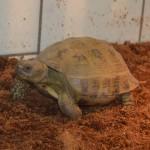 Reptil Landschildkröte Vierzehen Ulf