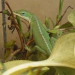 Reptil Rotkehl-Anolis Gruppe L - w
