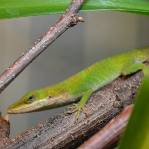 Reptil Rotkehlanolis 1