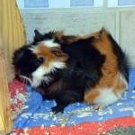 124-14 Meerschweinchen Cookie