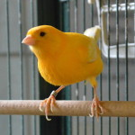 Klt Kanarienvogel 25-16 Nicky