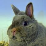 Klt Kaninchen 23-16 Morie1