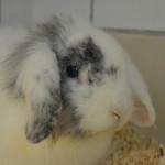 Klt Kaninchen 39-16 Nina