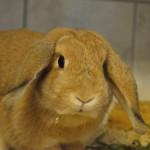 Klt Kaninchen 40-16 Werdi