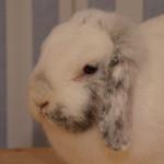 Klt Kaninchen 91-15 Merle1
