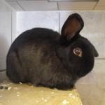 Klt Kaninchen Sunny schwarz Steh-Kippohr