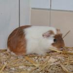 Klt Meerschwein Vera 04-15