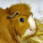 Klt Meerschweinchen 22-16 Rudi