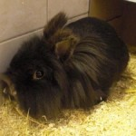 Klt Kaninchen Löwi