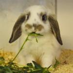 Klt Kaninchen 30-16 Amy