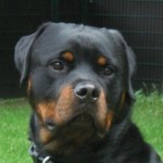 Hd Balu Rottweiler Portrait